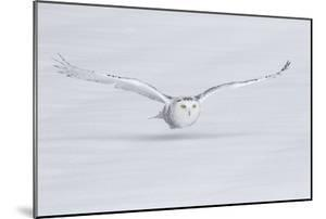 Canada, Ontario. Snowy owl flies low to ground. by Jaynes Gallery