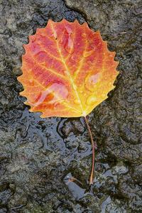 Canada, Quebec, Mount St-Bruno Conservation Park. Big Tooth Aspen Leaf after Rain by Jaynes Gallery