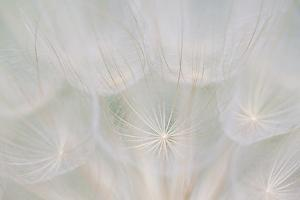 Canada, Quebec, Mount St-Bruno Conservation Park. Goats Beard Seed Head by Jaynes Gallery
