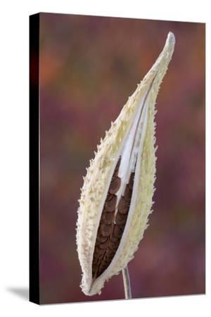 Canada, Quebec, Mount St-Bruno Conservation Park. Milkweed Seedpod Detail