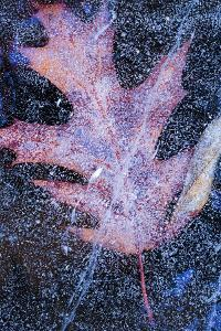 Canada, Quebec, Mount St-Bruno Conservation Park. Red Oak Leaf under Lake Ice by Jaynes Gallery