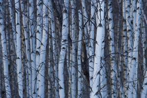 Canada, Quebec, Yamaska National Park. Gray Birch Forest by Jaynes Gallery