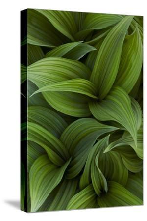 Canada, Quebec, Yamaska National Park. Green False Hellebore Plant