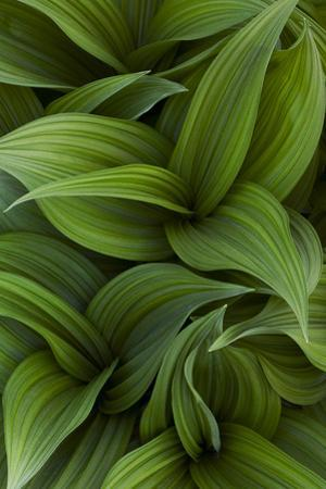 Canada, Quebec, Yamaska National Park. Green False Hellebore Plant by Jaynes Gallery