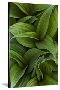 Canada, Quebec, Yamaska National Park. Green False Hellebore Plant by Jaynes Gallery