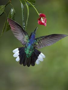 Caribbean, Costa Rica. Violet sabrewing hummingbird feeding. by Jaynes Gallery