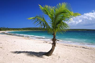 Caribbean, Puerto Rico, Vieques. Lone coconut palm on Red Beach. by Jaynes Gallery