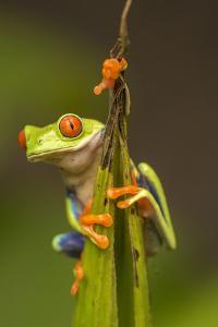Central America, Costa Rica. Red-Eyed Tree Frog Close-Up by Jaynes Gallery