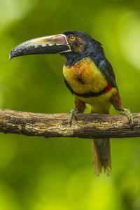 Central America, Costa Rica, Sarapiqui River Valley. Collared Aracari Bird on Limb by Jaynes Gallery