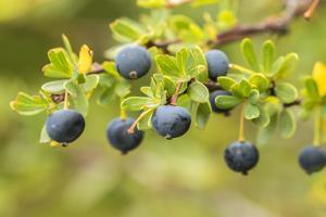 Chile, Patagonia. Calafate berries. by Jaynes Gallery