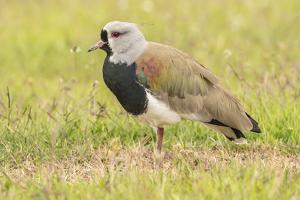 Chile, Patagonia. Southern lapwing close-up. by Jaynes Gallery