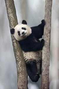 China, Chengdu, Chengdu Panda Base. Baby Giant Panda in Tree by Jaynes Gallery