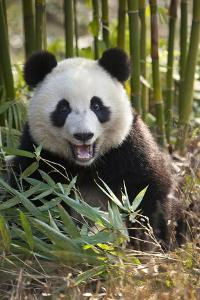 China, Chengdu, Chengdu Panda Base. Close-Up of Young Giant Panda by Jaynes Gallery