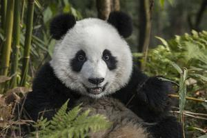 China, Chengdu, Chengdu Panda Base. Portrait of Young Giant Panda by Jaynes Gallery
