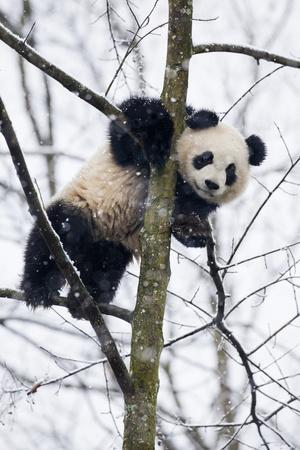 China, Chengdu Panda Base. Baby Giant Panda in Tree