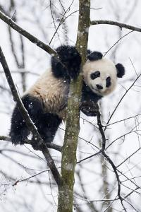China, Chengdu Panda Base. Baby Giant Panda in Tree by Jaynes Gallery