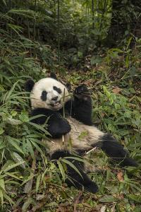 China, Chengdu Panda Base. Young Giant Panda Eating by Jaynes Gallery