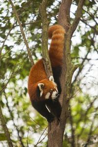 China, Chengdu, Wolong National Natural Reserve. Lesser Panda in Tree by Jaynes Gallery