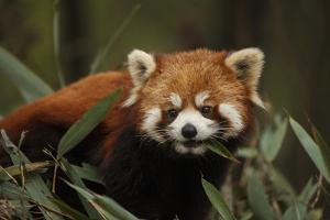 China, Chengdu, Wolong National Natural Reserve. Red or Lesser Panda Eating by Jaynes Gallery