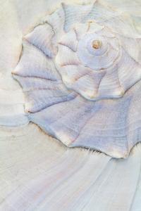 Close-Up of Pastel Seashell, Washington, USA by Jaynes Gallery
