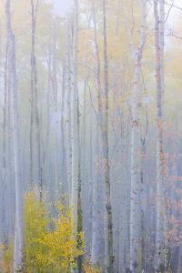 Colorado, Grand Mesa. Composite of Foggy Aspen Forest by Jaynes Gallery