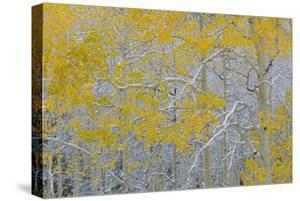 Colorado, Grand Mesa. Early Snow on Aspen Trees by Jaynes Gallery