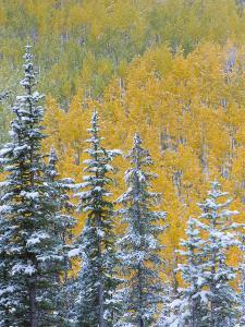 Colorado, Grand Mesa. Early Snowfall on Forest by Jaynes Gallery