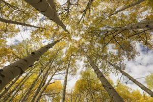 Colorado, Gunnison National Forest. Aspen Trees in Autumn by Jaynes Gallery