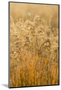 Colorado, Gunnison National Park. Close Up of Golden Grasses by Jaynes Gallery