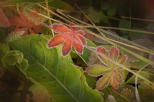 Colorado, Little Molas Lake. Frosty Edges of Fall-Colored Leaves by Jaynes Gallery