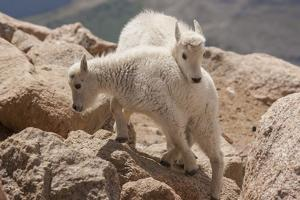 Colorado, Mt. Evans. Mountain Goat Kids Playing by Jaynes Gallery