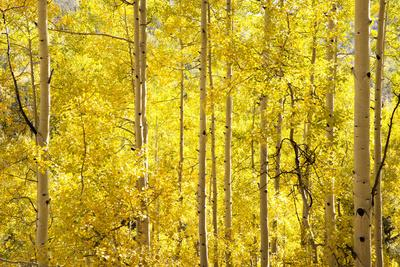 Colorado, San Juan Mountains. Aspen Trees in Autumn Color