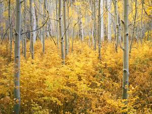 Colorado, San Juan Mountains. Aspen Trees in Autumn Color by Jaynes Gallery