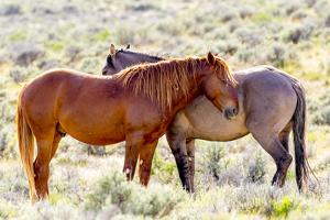 Colorado, Sand Wash Basin. Close-Up of Wild Horses by Jaynes Gallery