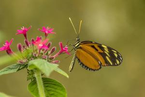 Costa Rica, Monteverde Cloud Forest Biological Reserve. Butterfly on Flower by Jaynes Gallery