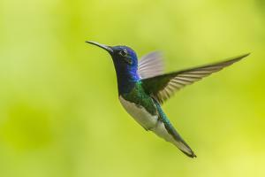 Costa Rica, Sarapiqui River Valley. White-Necked Jacobin Flying by Jaynes Gallery