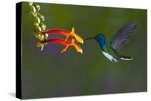 Costa Rica. White-necked Jacobin hummingbird. by Jaynes Gallery