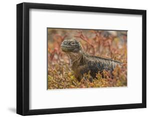 Ecuador, Galapagos National Park. Land iguana in red portulaca plants. by Jaynes Gallery