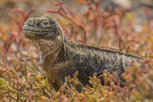 Ecuador, Galapagos National Park. Land iguana in red portulaca plants. by Jaynes Gallery