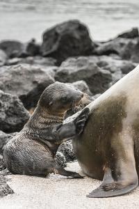 Ecuador, Galapagos National Park. Sea lion and pup. by Jaynes Gallery