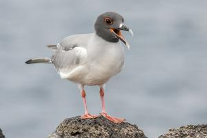 Ecuador, Galapagos National Park. Swallow-tailed gull panting to stay cool. by Jaynes Gallery