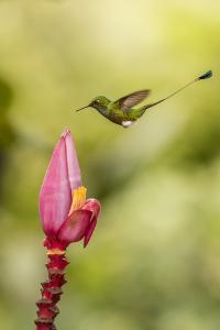 Ecuador, Tandayapa Bird Lodge. Booted racket-tail and flower. by Jaynes Gallery