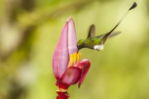 Ecuador, Tandayapa Bird Lodge. Booted racket-tail feeds on banana flower. by Jaynes Gallery