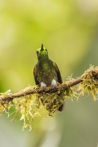 Ecuador, Tandayapa Bird Lodge. Buff-tailed coronet on limb. by Jaynes Gallery