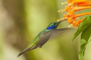 Ecuador, Tandayapa Bird Lodge. Green violetear hummingbird feeding. by Jaynes Gallery
