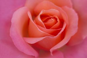 Europe, Ireland. Detail of Pink Rose by Jaynes Gallery