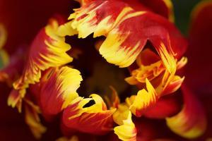 Europe, Netherlands, Lisse. Parrot Tulip Close Up by Jaynes Gallery