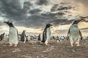 Falkland Islands, Bleaker Island. Gentoo penguin colony at sunset. by Jaynes Gallery