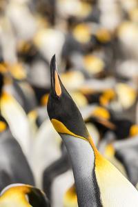 Falkland Islands, East Falkland. King penguin calling. by Jaynes Gallery