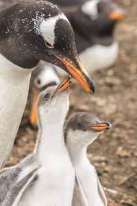 Falkland Islands, Sea Lion Island. Gentoo penguin with chicks. by Jaynes Gallery
